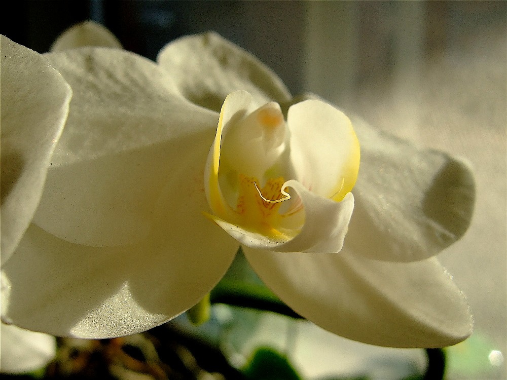 Hình ảnh hoa phong lan Hồ Điệp