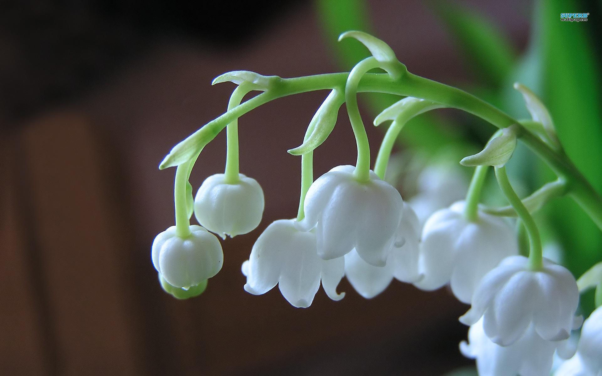 Hình ảnh vẻ đẹp tinh khiết của hoa linh lan