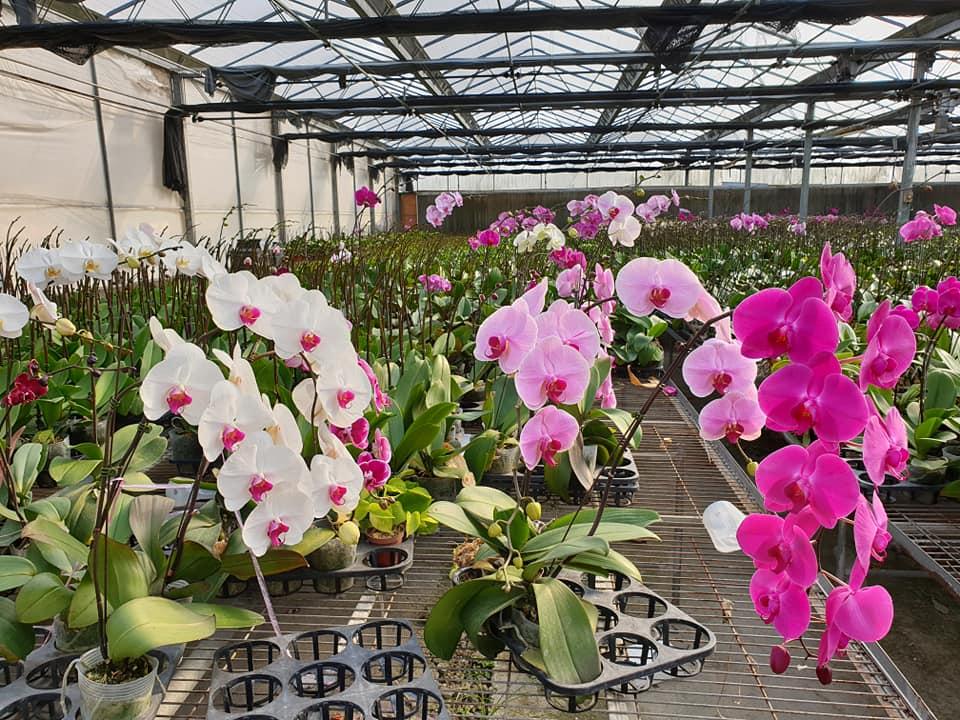 Hình ảnh vườn hoa Lan Hồ Điệp nhập khẩu đẹp