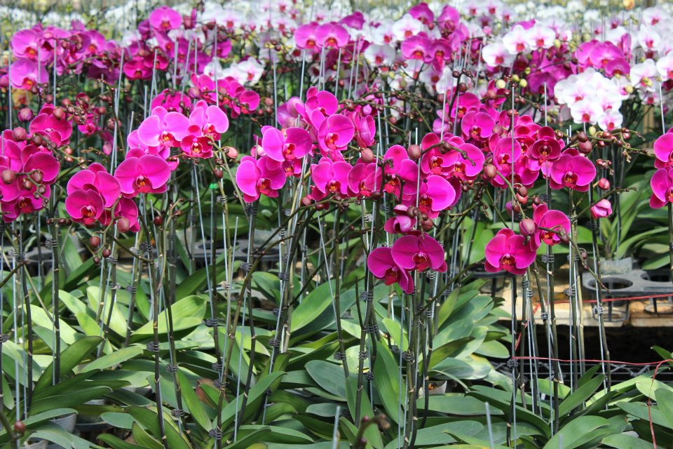 Hình ảnh vườn hoa Lan Hồ Điệp tím đẹp