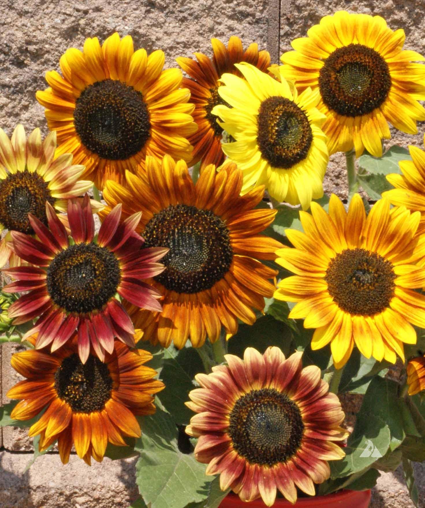 Hoa hướng dương đầy đủ màu sắc đẹp nhất