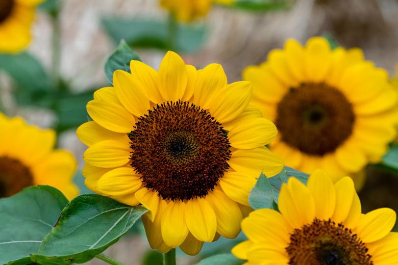 Hoa hướng dương loài hoa đẹp nhất