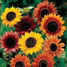 Hoa hướng dương trộn lẫn các màu đẹp nhất