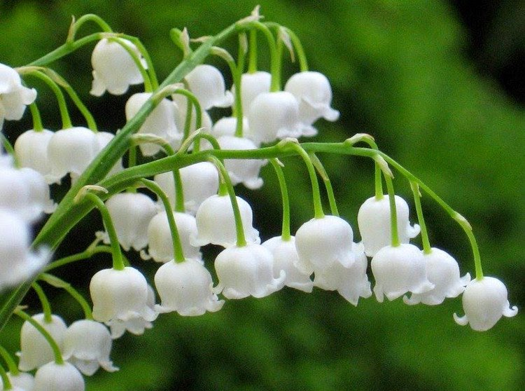 Hoa Lan chuông (Hoa linh Lan) đẹp