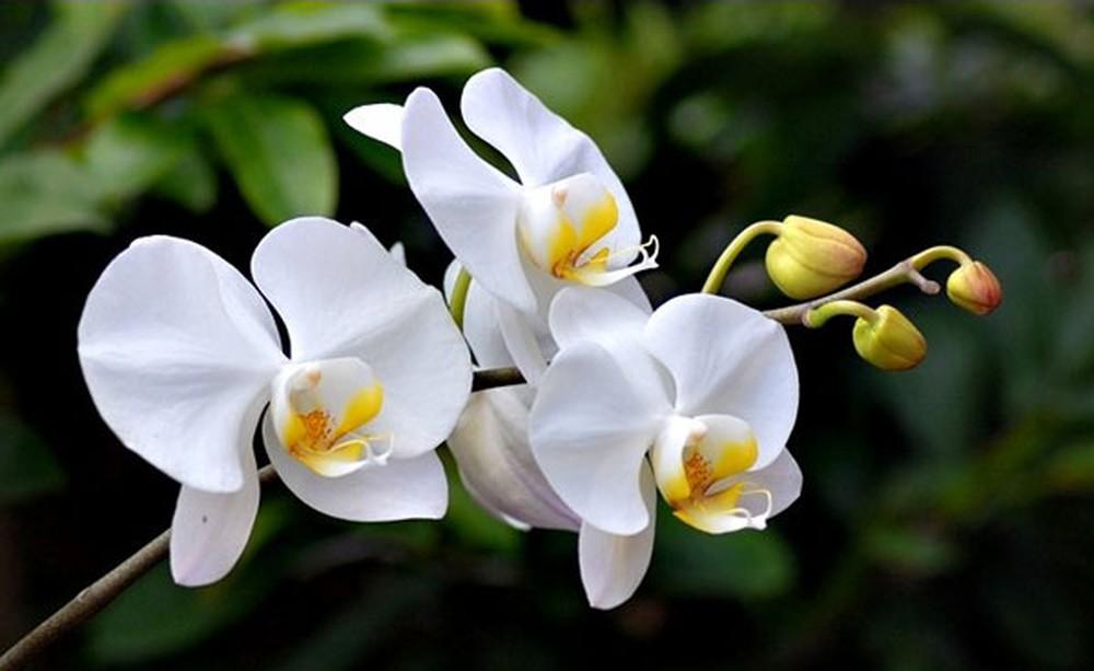 Hoa Lan Hồ Điệp trắng hình ảnh đẹp nhất