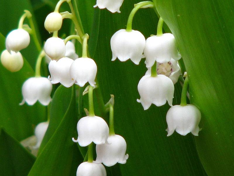 Hoa Linh Lan đẹp nhât