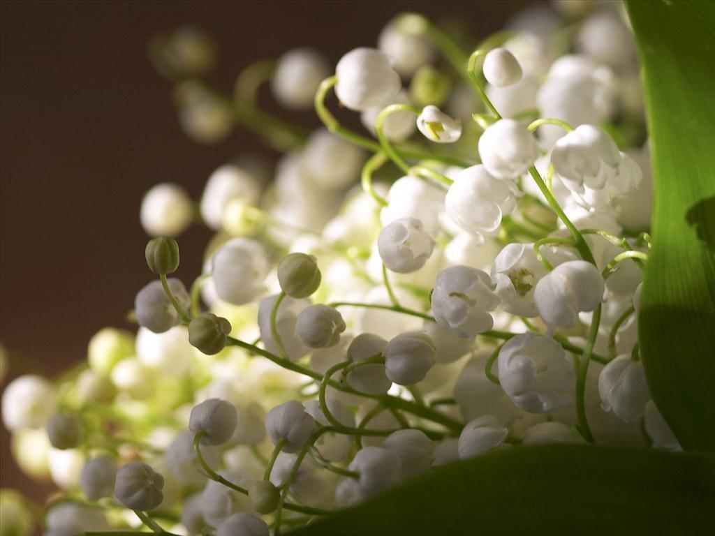 Hoa linh lan trắng đẹp nhất