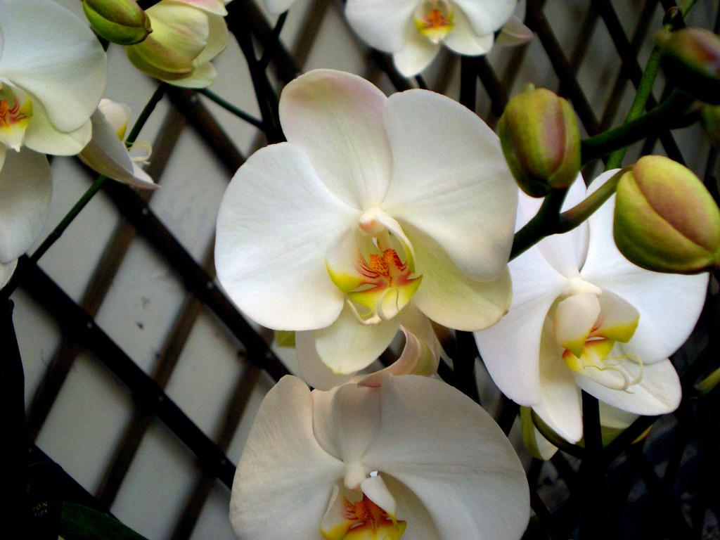 Hoa phong lan Hồ Điệp hình ảnh đẹp nhất
