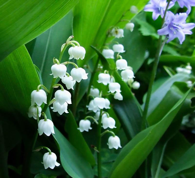 Những hình ảnh đẹp về hoa linh lan