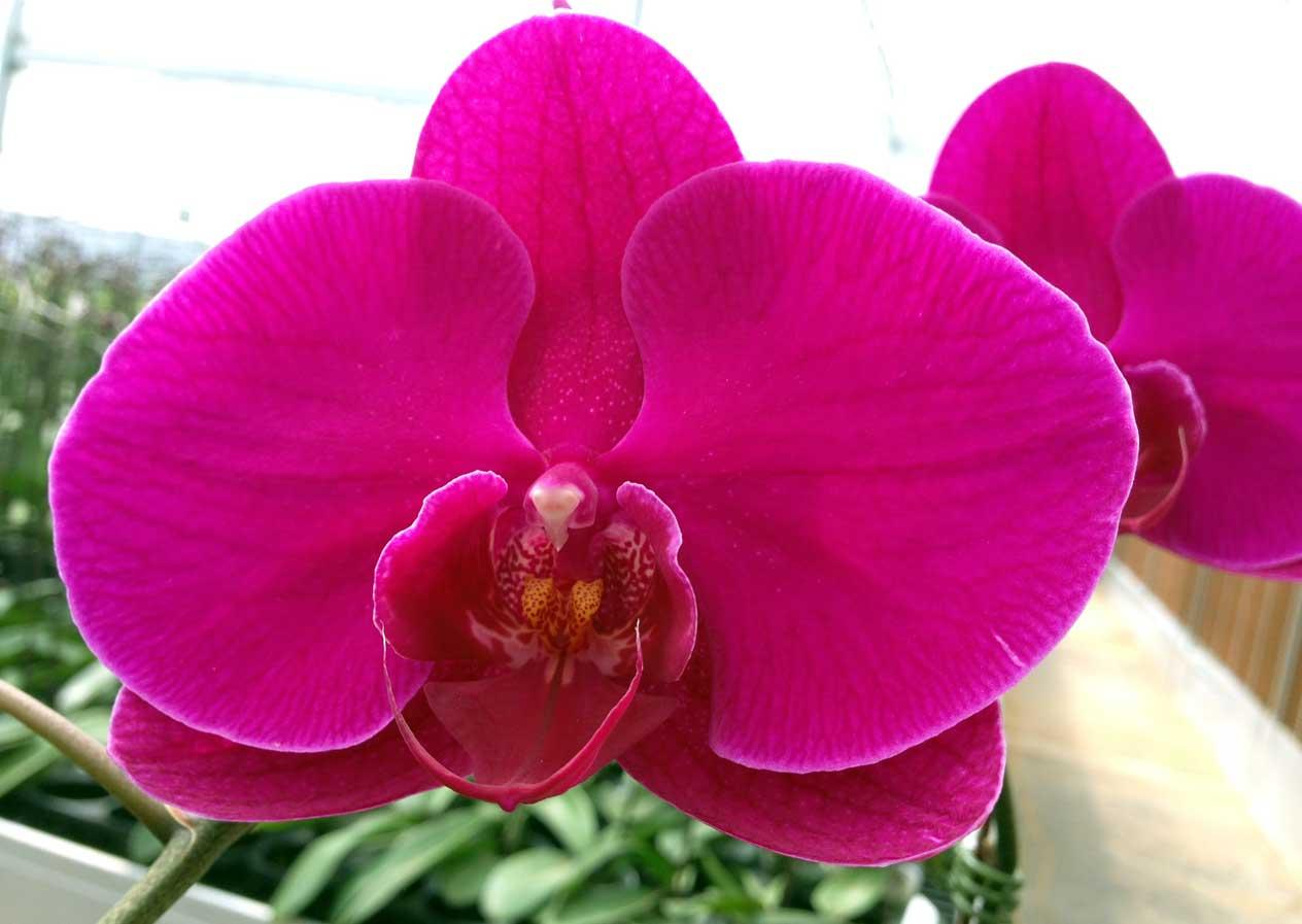 Những hình ảnh hoa Lan Hồ Điệp đẹp