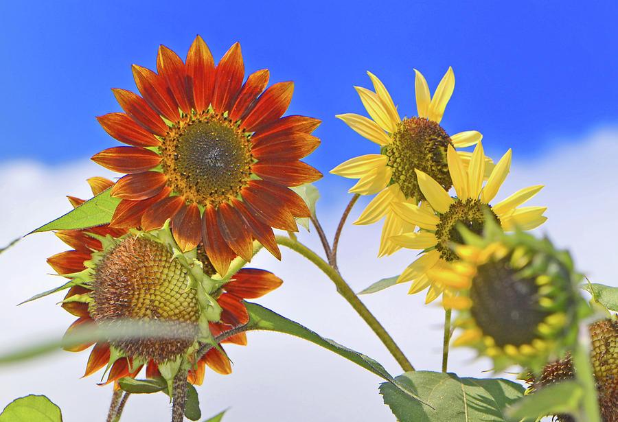 Những loài hoa hướng dương đỏ và vàng rực rỡ màu sắc đẹp nhất