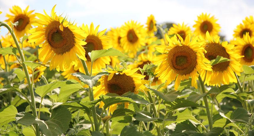 Vườn hoa Hướng dương đẹp nhất