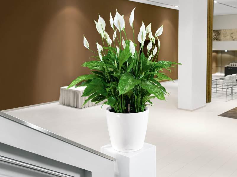 Ảnh đẹp về hoa Lan Ý trang trí trong nhà đẹp nhất