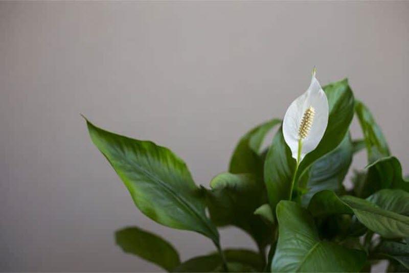 Chiêm ngưỡng vẻ đẹp của hoa Lan Ý