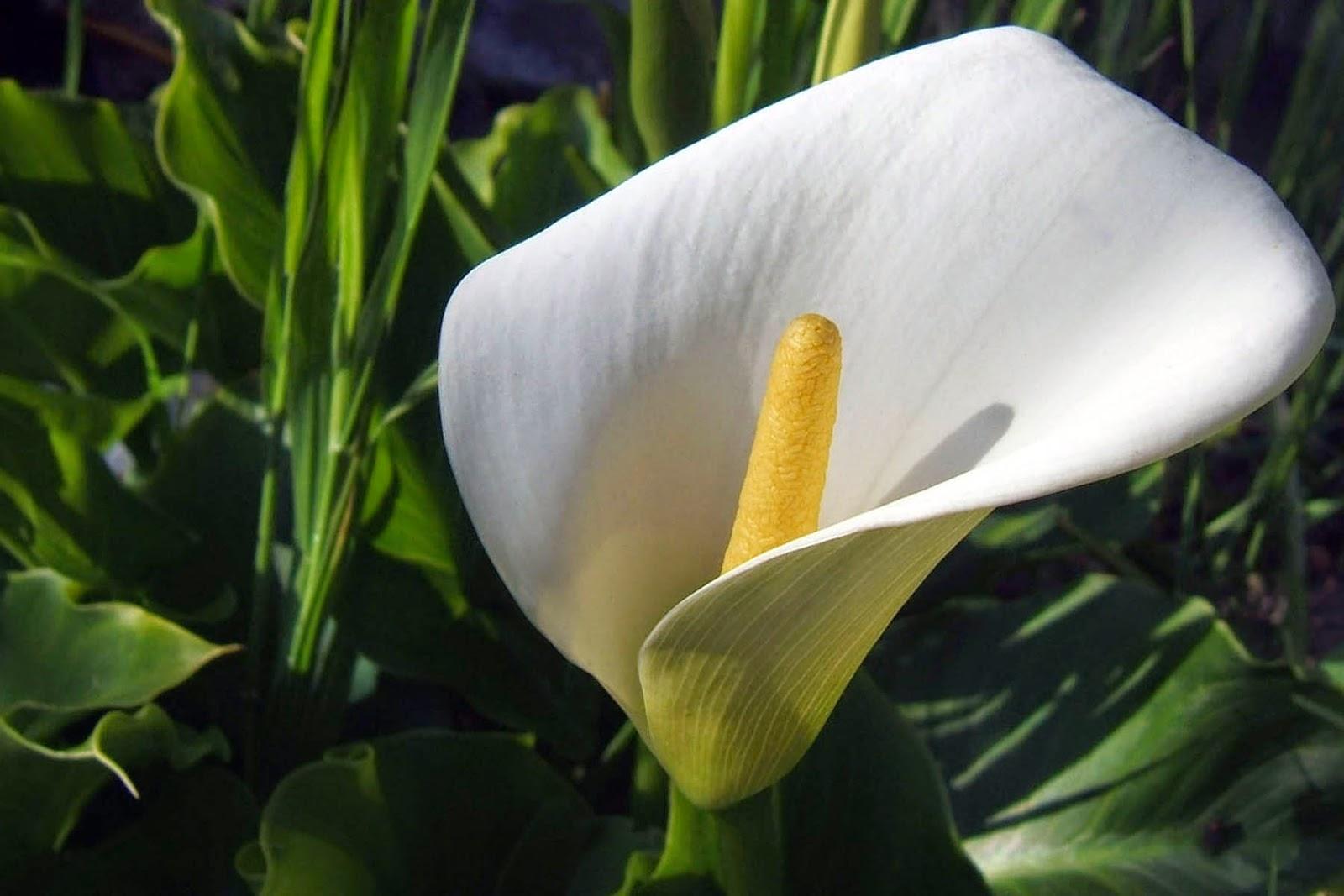 Hình ảnh hoa Lan Ý đẹp nhất