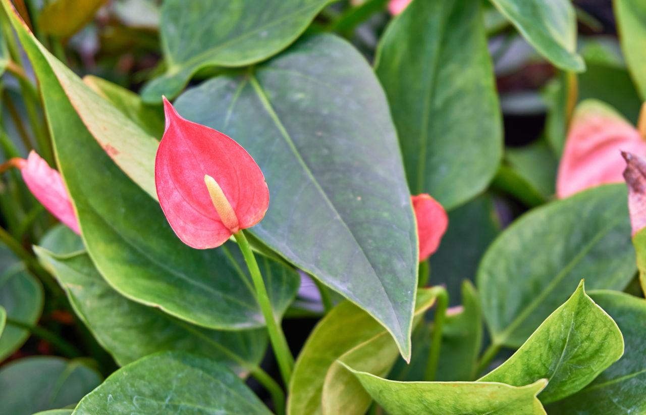 Hình ảnh hoa Lan ý đỏ đẹp nhất