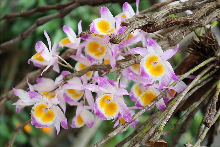 Hình ảnh hoa Lan Ý thảo