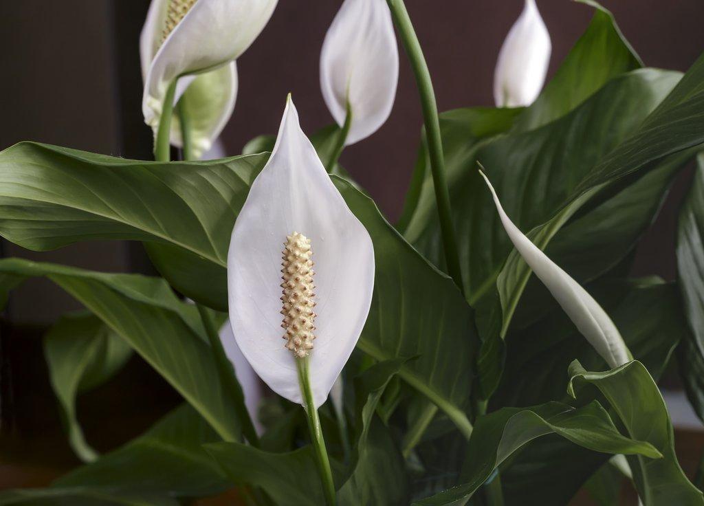 Những hình ảnh đẹp về hoa Lan ý