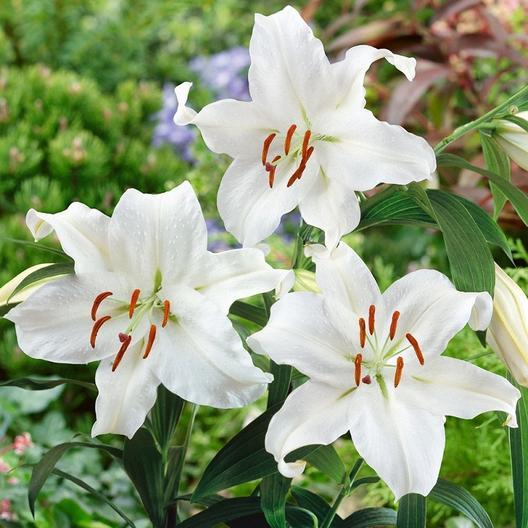 Ảnh đẹp hoa lily trắng