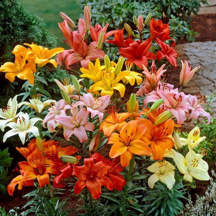 Ảnh đẹp vườn hoa ly nhiều màu