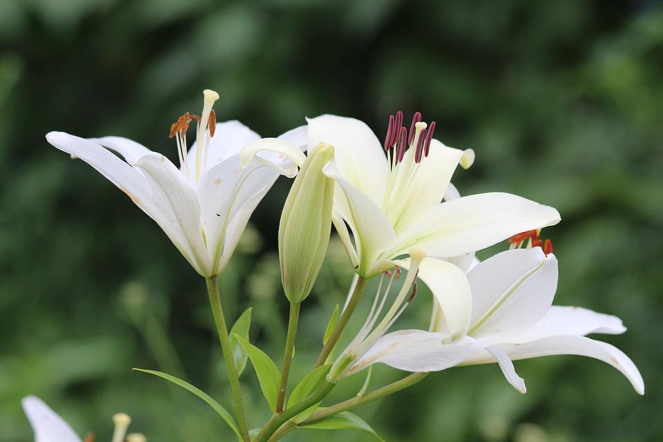 Ảnh hoa ly màu trắng đẹp