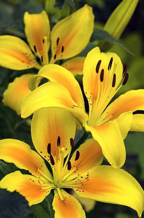 Hình ảnh bông hoa ly vàng