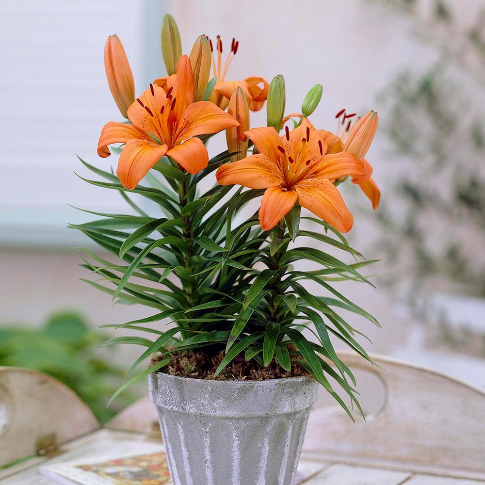 Hình ảnh chậu hoa ly cam đẹp