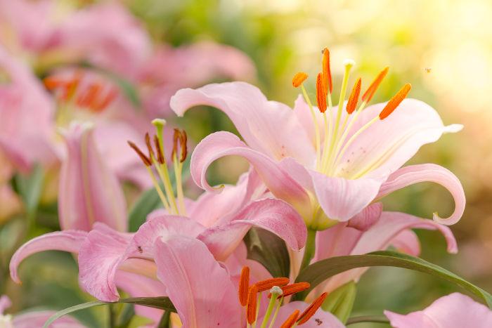 Hình ảnh hoa lưu ly hồng đẹp