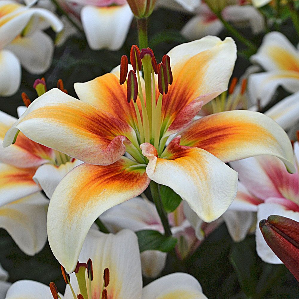 Hình ảnh hoa ly màu cam đẹp