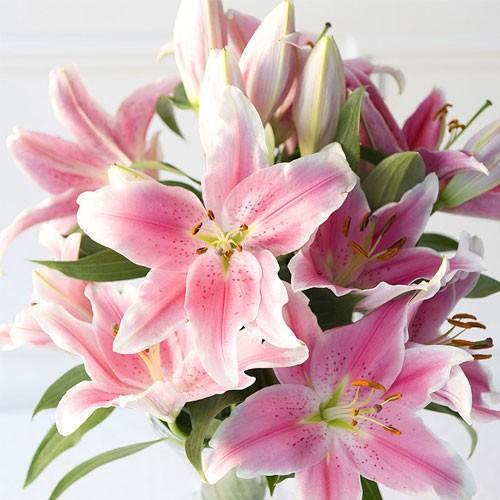 Hình ảnh hoa ly màu hồng