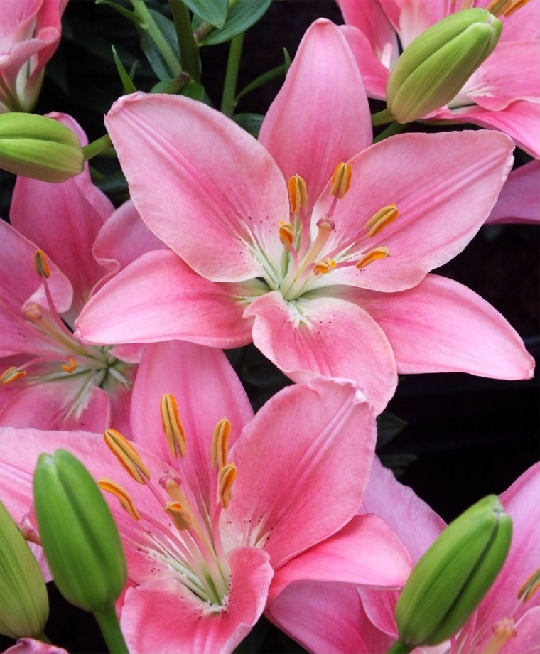 Hình ảnh về hoa ly