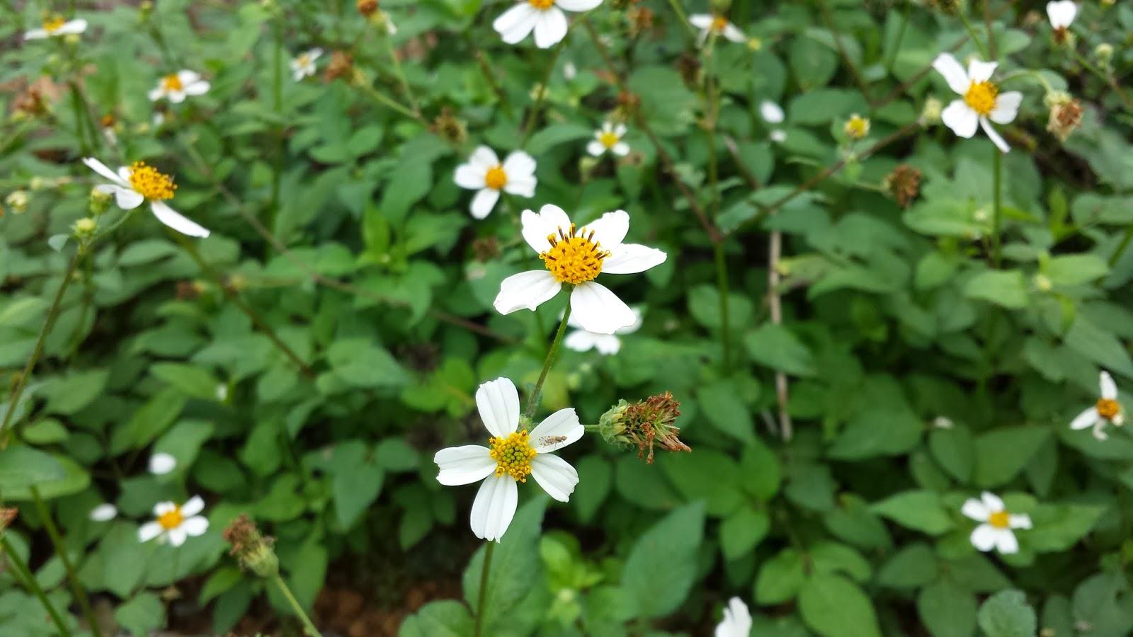 hoa đồng cỏ nội