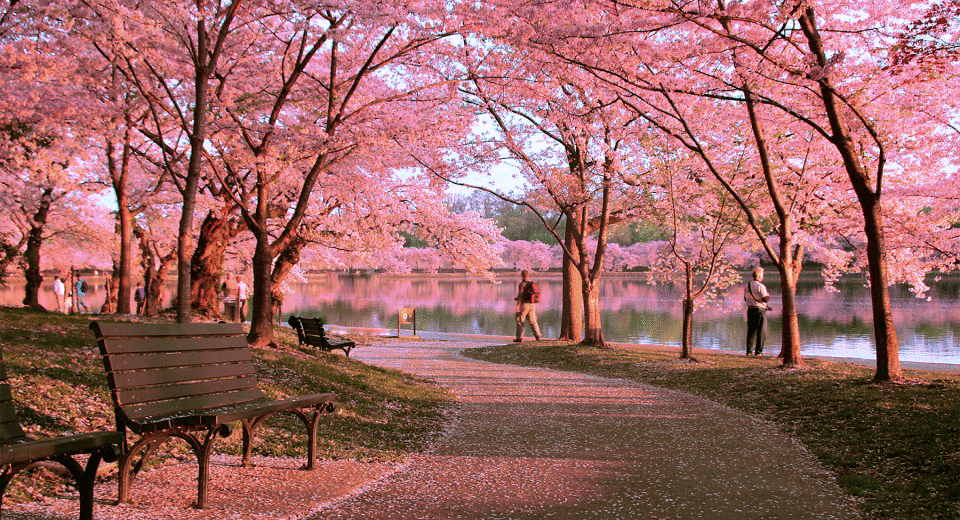Hoa Anh Đào Nhật Bản đẹp