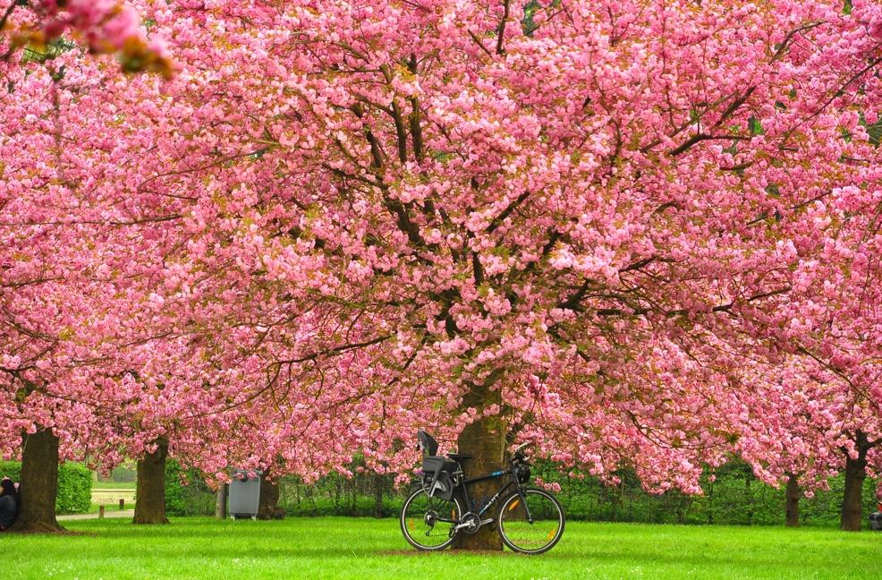 cây hoa anh đào đẹp nhất