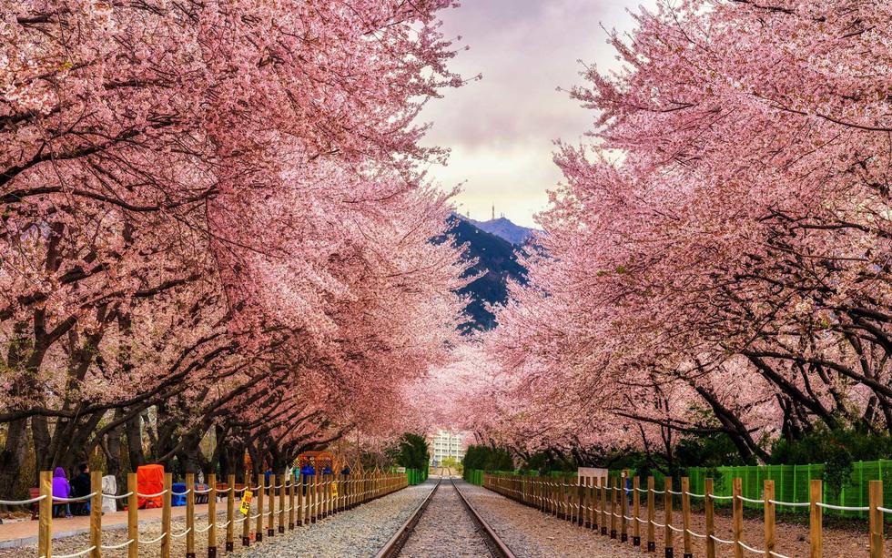 con đường hoa đào