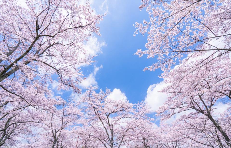 Nhật bản hoa anh đào