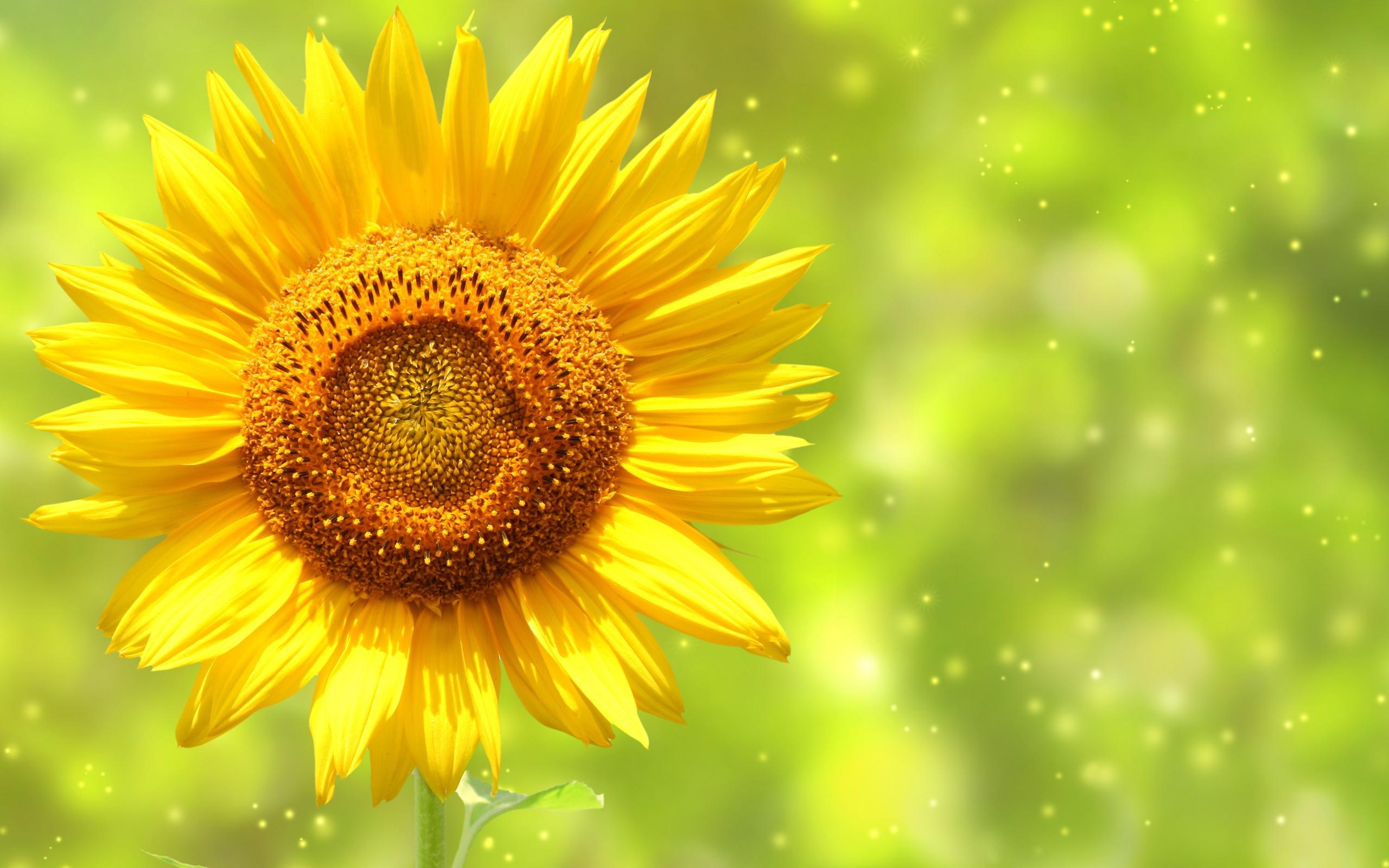 Ảnh đẹp làm nền máy tính - Bông hoa hướng dương rực rỡ
