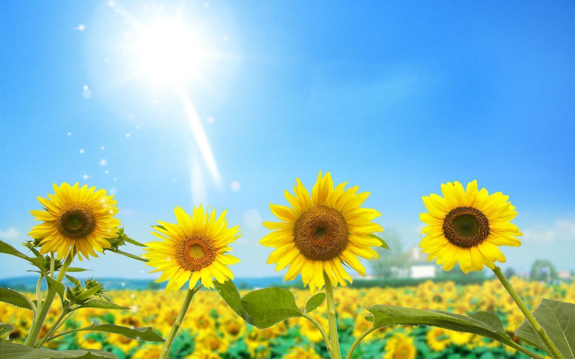 Ảnh nền đẹp chất lượng HD - hoa hướng dương dưới ánh mặt trười