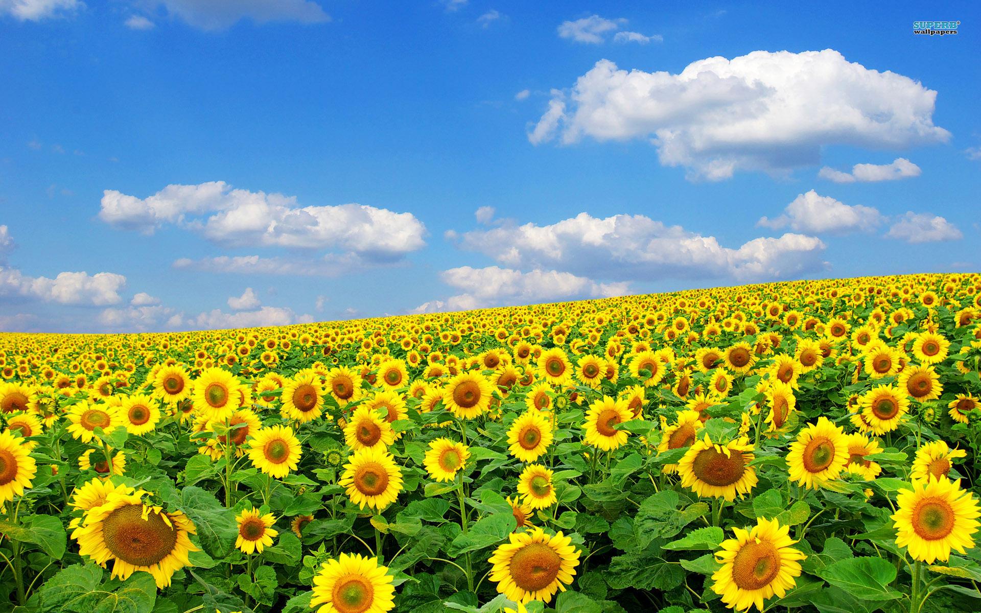 Ảnh nền đẹp wide về hoa hướng dương