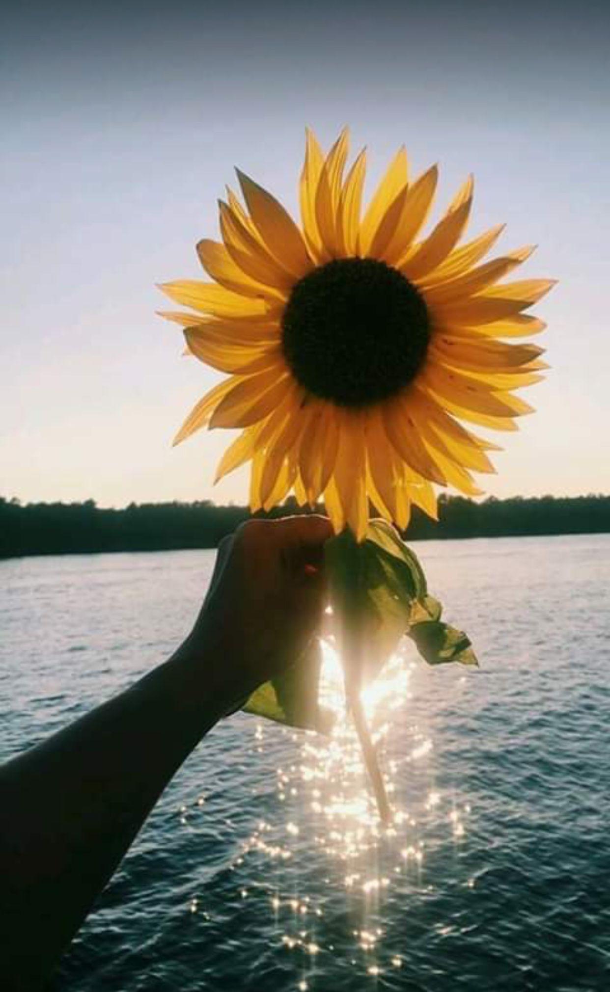 Ảnh nền điện thoại di động bông hoa hướng dương ngược nắng