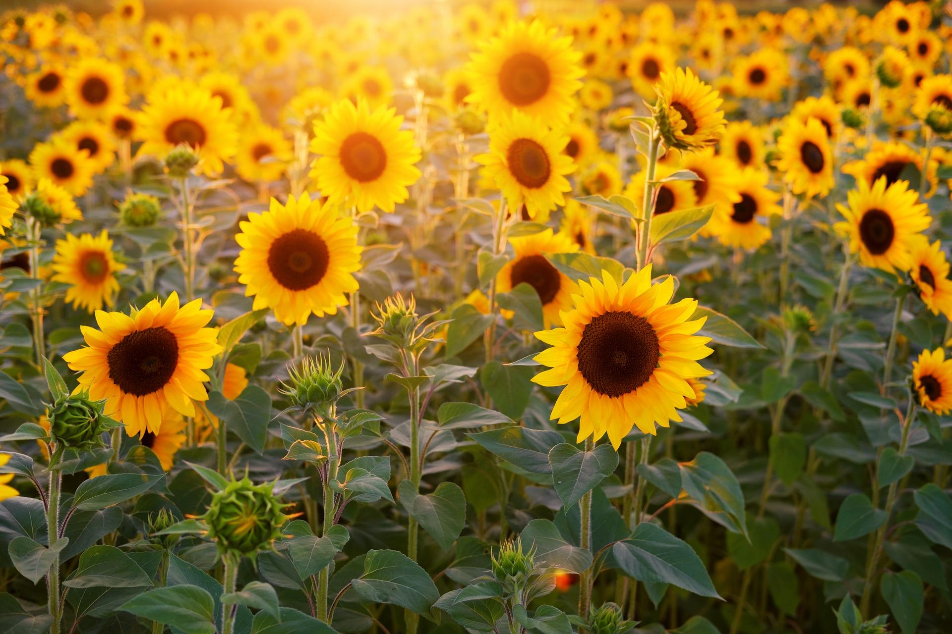 Ảnh nền hoa hướng dương dưới ánh nắng