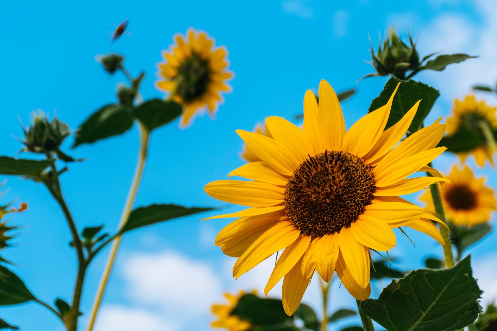 Ảnh nền tuyệt đẹp về hoa hướng dương
