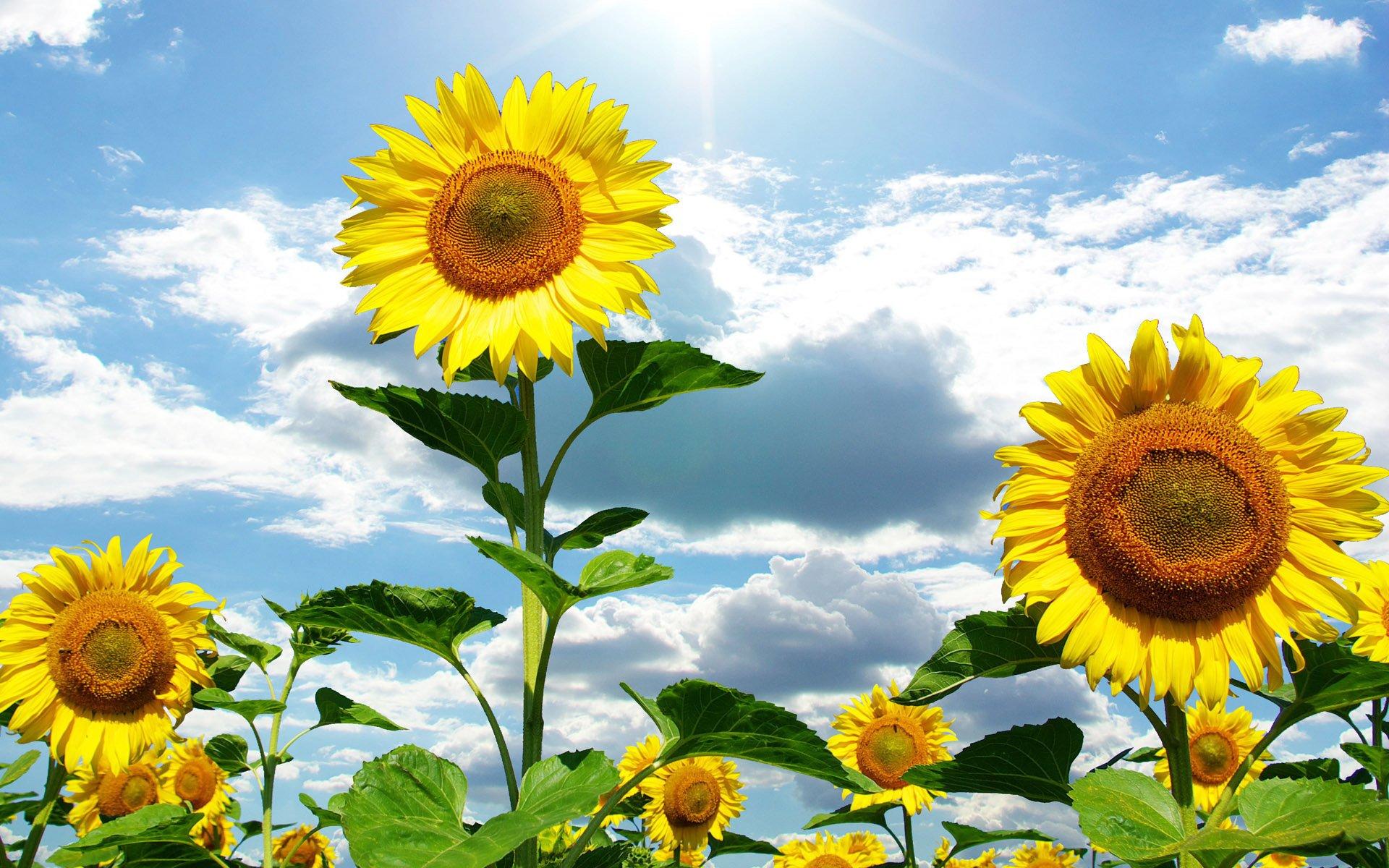 Cánh đồng hoa hướng dương dưới trời nắng hình nền cực đẹp