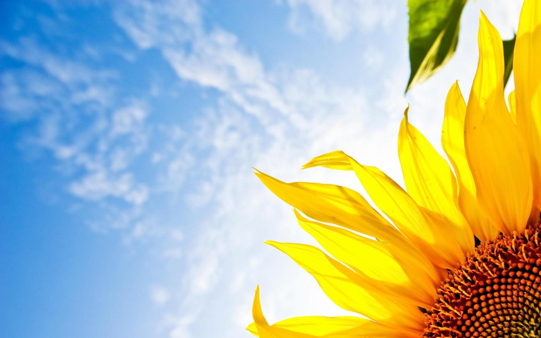 Hình ảnh đóa hoa hướng dương được dùng làm hình nền
