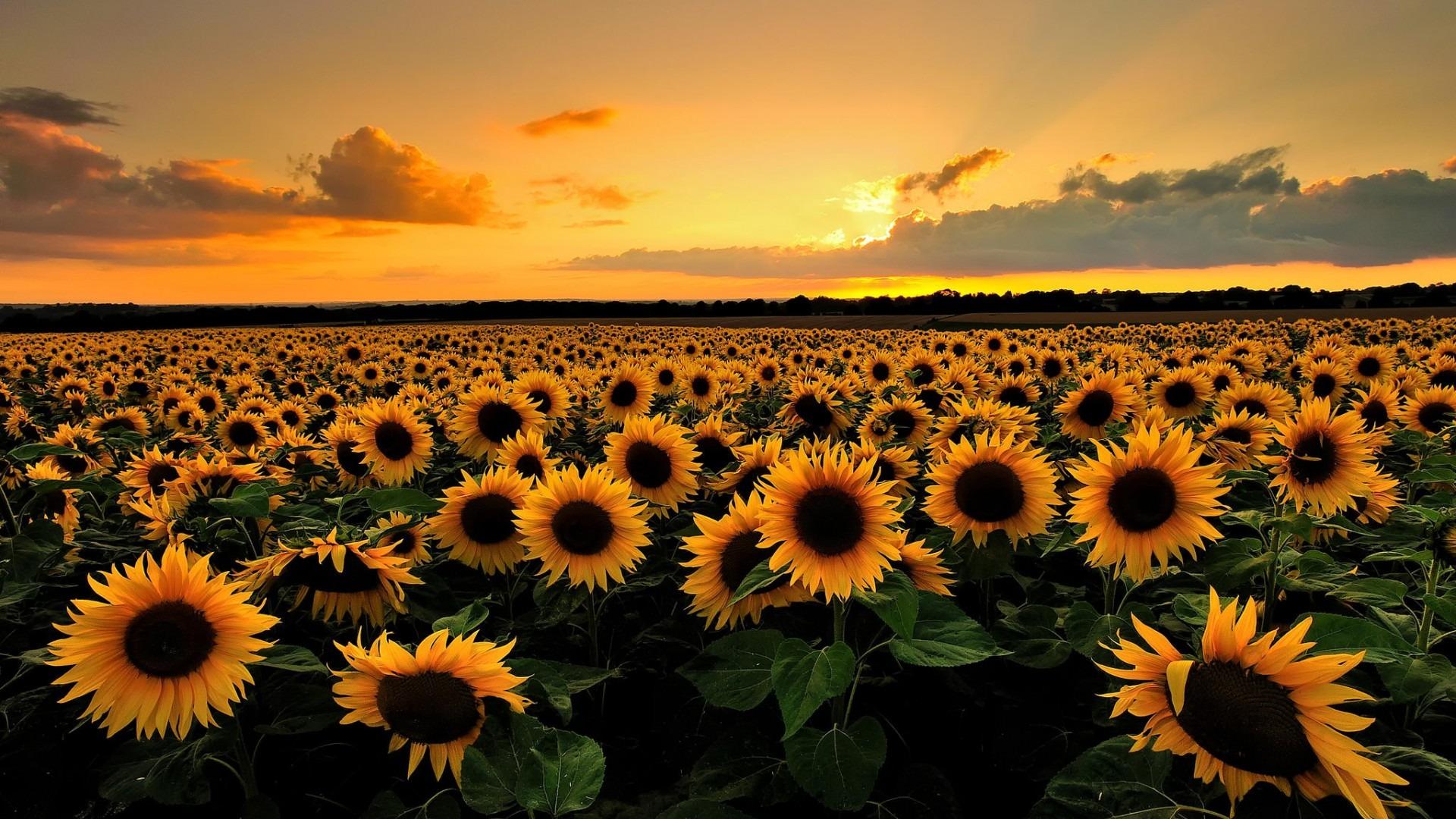 Hình ảnh hoa hướng dương dưới ánh hoàng hôn