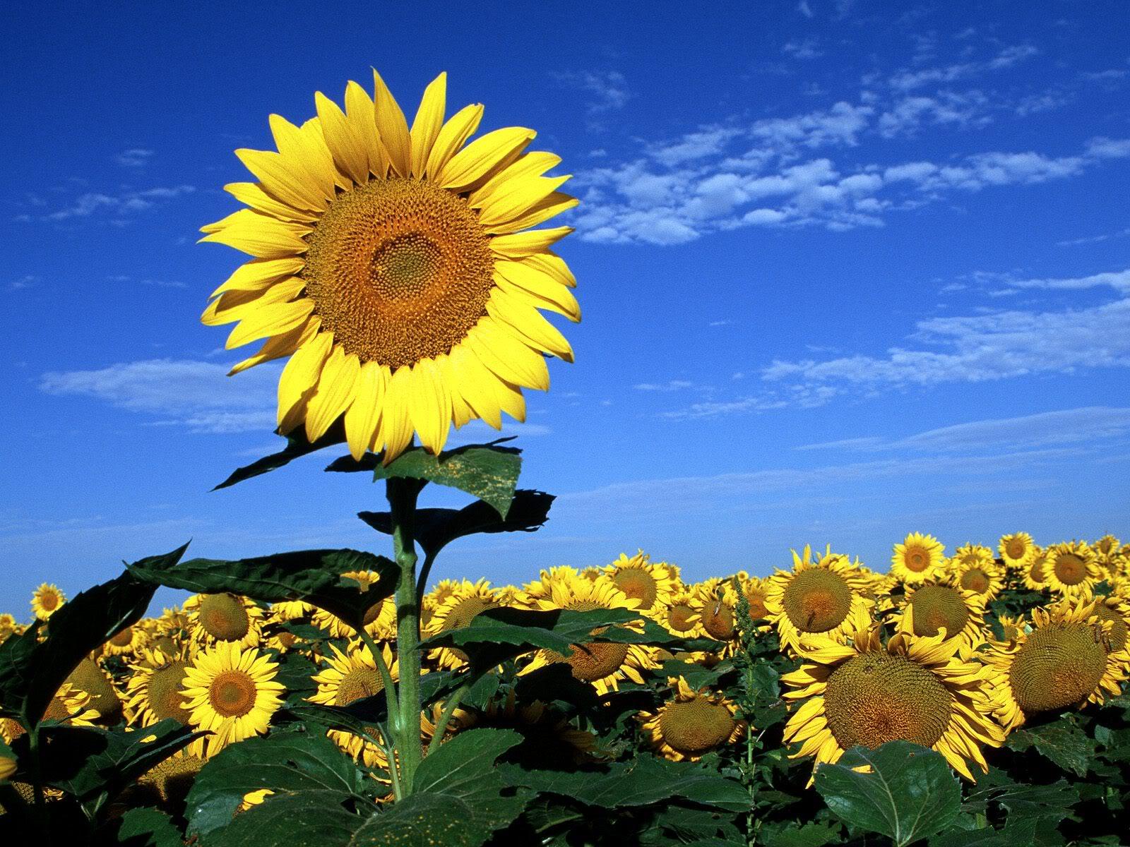 Hình hoa hướng dương đẹp