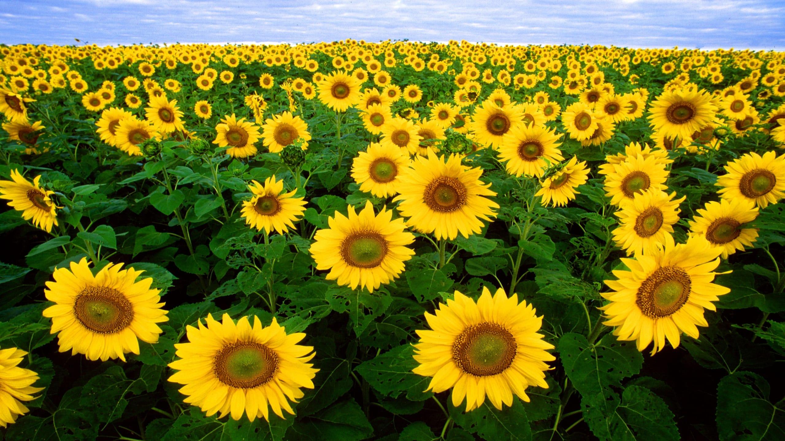 Hình nền 2K chất lượng - cánh đồng bạt ngàn hoa hướng dương
