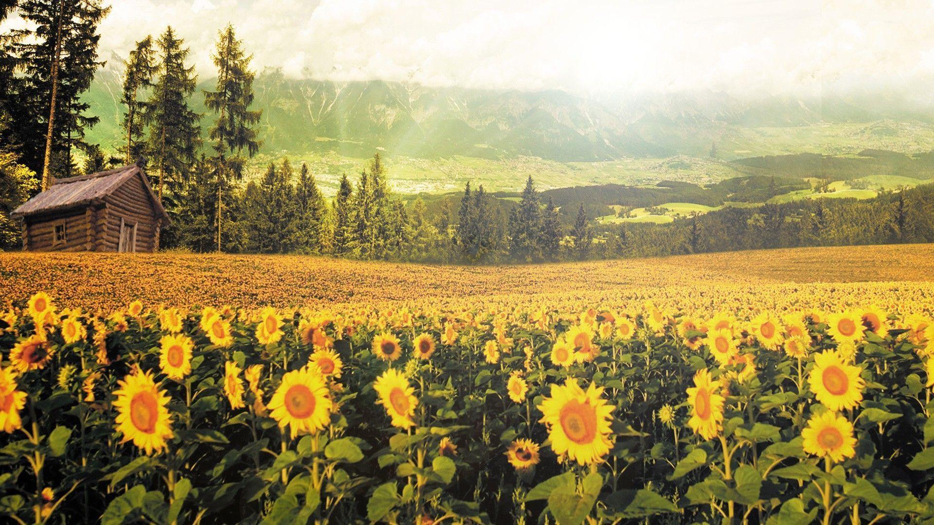 Hình nền cánh đồng hoa hướng dương