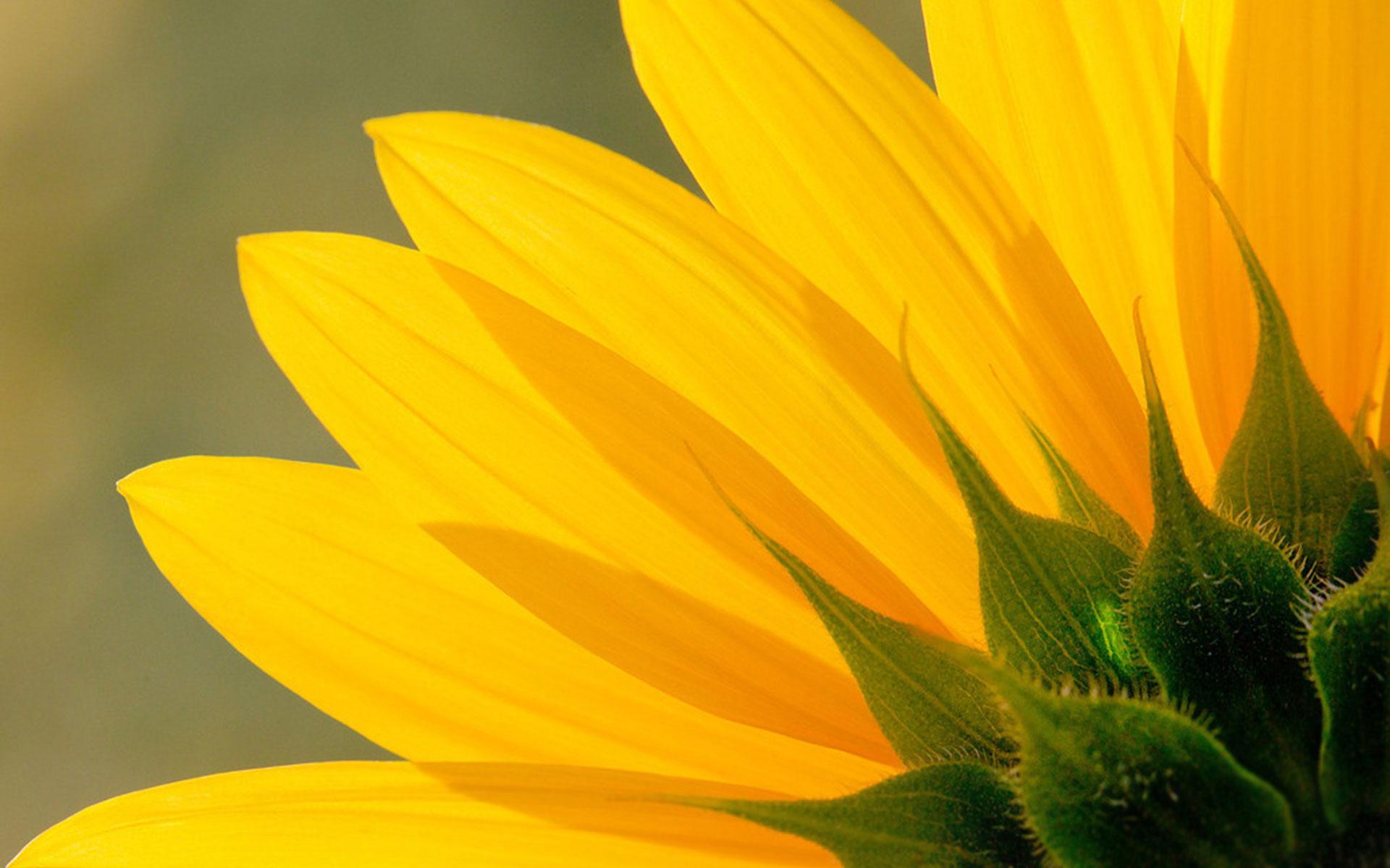 Hình nền cánh hoa hướng dương