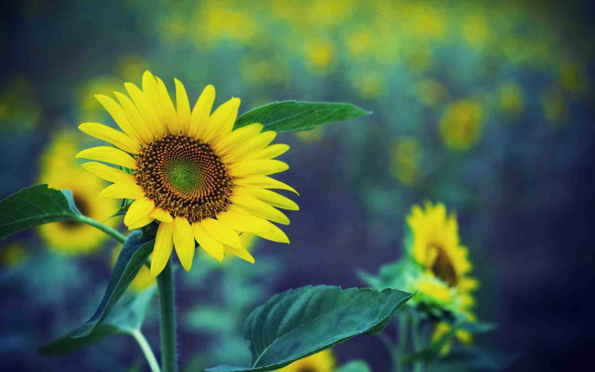 Hình nền đẹp hoa hướng dương cho bạn